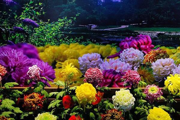 宜昌市第34届菊花展在夷陵区龙泉镇展出