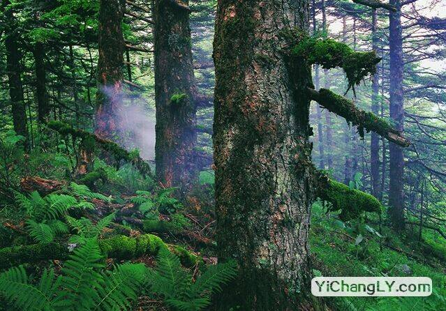 神农架-原始森林