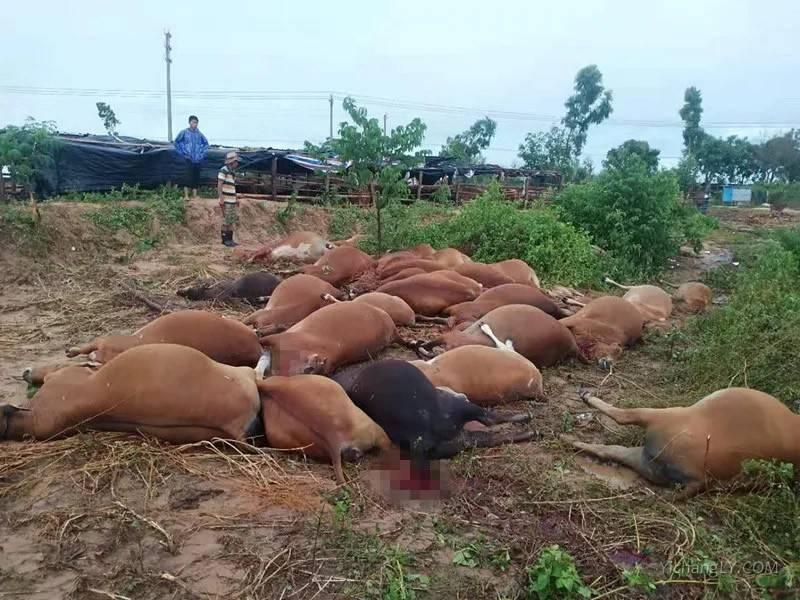 海南42头牛遭雷击死亡
