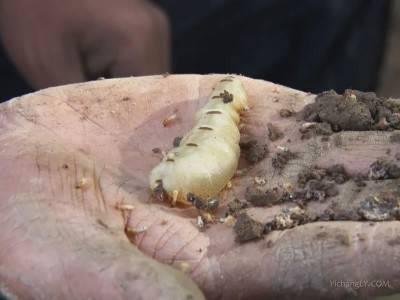 湖北发现超大蚁穴挖出超大蚁后
